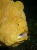 Giant Frogfish Royalty Free Stock Photography