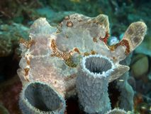 Giant frogfish. In molucca sea stock photos