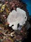 Giant frogfish on a sponge Stock Photos