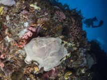 Giant frogfish on a sponge Stock Photography