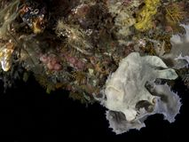 Giant frogfish on a sponge Stock Images