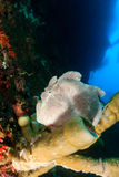 Giant Frogfish. On a tube sponge in deep ocean Stock Photo