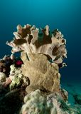 Giant Frogfish under Leather coral Stock Images