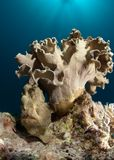 Giant Frogfish Under Leather Coral Royalty Free Stock Images