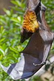 Giant Fruit Bat. Hanging from a tree Royalty Free Stock Photos