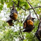 Giant fruit bat Stock Photo