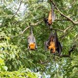 Giant fruit bat Royalty Free Stock Photography
