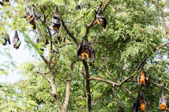 Giant fruit bat Royalty Free Stock Images