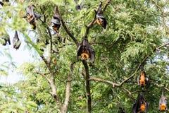 Giant fruit bat Royalty Free Stock Images