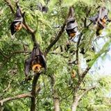 Giant fruit bat Stock Image