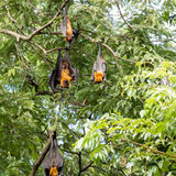 Giant fruit bat Stock Photo