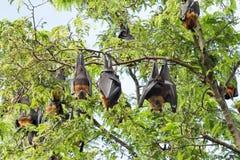 Giant fruit bat. On tree Royalty Free Stock Photography