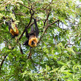 Giant fruit bat Royalty Free Stock Image