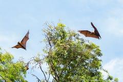 Giant fruit bats flying Royalty Free Stock Photos