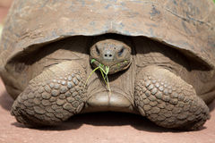 Giant Galapagos land turtle Stock Images