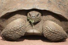 Giant Galapagos land turtle Stock Photo