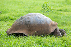 Giant Galapagos land turtle Stock Photography