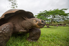 Giant Galapagos land turtle Royalty Free Stock Photos