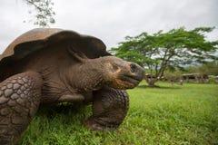 Giant Galapagos land turtle Royalty Free Stock Photos