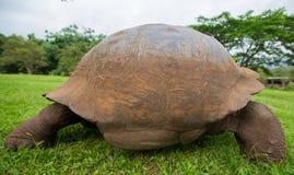 Giant Galapagos land turtle Royalty Free Stock Photo