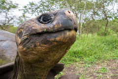 Giant Galapagos land turtle Stock Photo