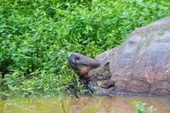 Giant Galapagos land turtle Stock Image