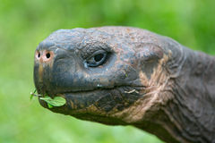 Giant Galapagos land turtle Royalty Free Stock Images