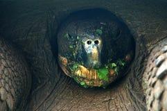 The Giant Galapagos Tortoise. The Giant Galapagos Tortoise,eating grass.Photo taken on Santa Cruz Island Stock Images