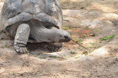 Giant Galapagos tortoise Royalty Free Stock Photos