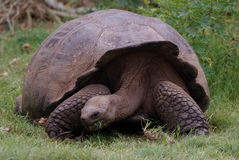 Giant Galapagos Tortoise. Eating grass Royalty Free Stock Photography