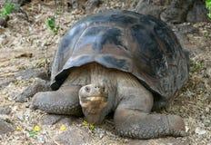 Giant Galapagos Tortoise Stock Images