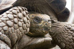 Giant Galapagos Tortoise Stock Images