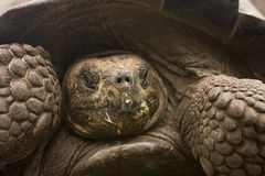 Giant Galapagos Tortoise Stock Photo