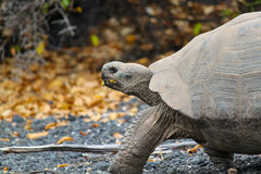 Giant Galapagos Tortoise, Chelonoidis nigra, in Profile Walking Stock Images