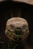 Giant Galapagos Tortoise eating grass Royalty Free Stock Image