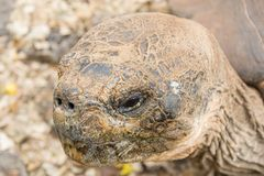 Giant Galapagos Tortoise on foreground stock photography