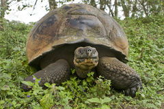 Giant Galapagos tortoise, Geochelone elephantopus royalty free stock photography