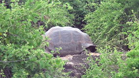 Giant Galapagos tortoise in green grass on Santa Cruz Island. stock video