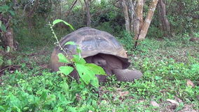 Giant Galapagos tortoise in green grass on Santa Cruz Island. stock footage