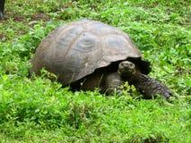 Giant Galapagos Tortoise Stock Image