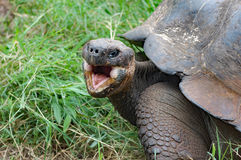 Giant galapagos tortoise with mouth open, closeup. Giant Galapagos tortoise with mouth open, in natural habitat Royalty Free Stock Images