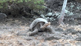 Giant Galapagos tortoise on the rocks and green grass on Santa Cruz Island. stock video