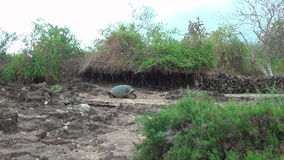 Giant Galapagos tortoise on the rocks and green grass on Santa Cruz Island. stock video footage