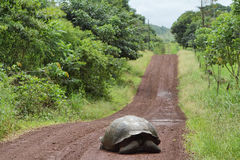 Giant Galapagos tortoise in Santa Cruz Island. Giant Galapagos tortoise crossing a road in Santa Cruz Island highlands, Galapagos, Ecuador royalty free stock images