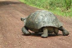 Giant Galapagos tortoise in Santa Cruz Island. Giant Galapagos tortoise crossing a road in Santa Cruz Island highlands, Galapagos, Ecuador royalty free stock photography