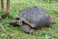 Giant Galapagos tortoise in Santa Cruz Island. Giant Galapagos tortoise having a snack in Santa Cruz Island highlands, Galapagos, Ecuador stock image