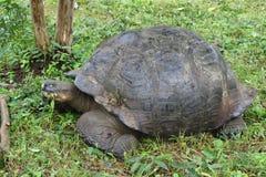 Giant Galapagos tortoise in Santa Cruz Island. Giant Galapagos tortoise having a snack in Santa Cruz Island highlands, Galapagos, Ecuador stock photos
