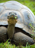 Giant galapagos turtle Royalty Free Stock Photo