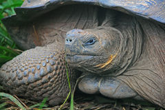 A giant Galapagos turtle Royalty Free Stock Photography