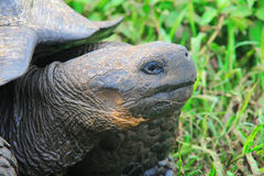 A giant Galapagos turtle Royalty Free Stock Photo